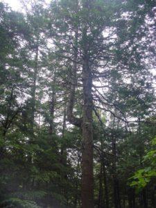 雪害による枝の再生